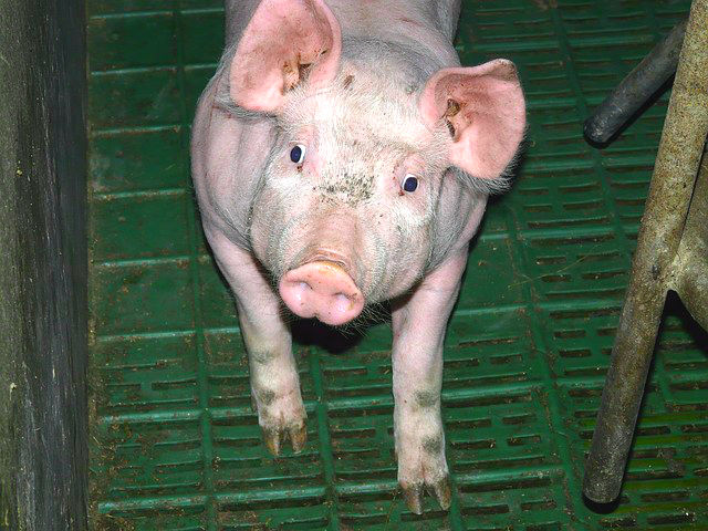 scientists successfully re-grow human muscles from pig parts, Muscles