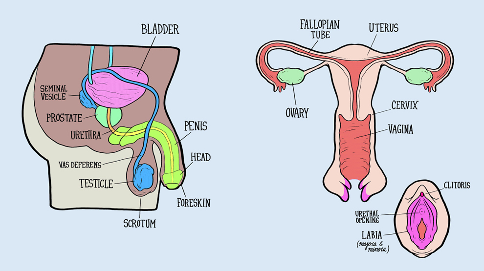 male and female reproductive systems harder to label for some than, Muscles