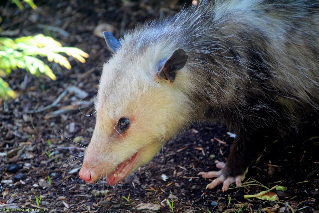 Opossum based antidote provides new route for treating - How to get rid of possums in the garden ...