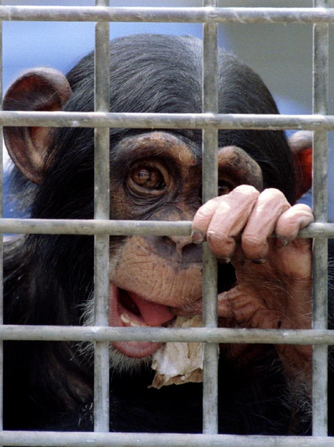 A young Chimp awaiting it's turn in medical experiments.