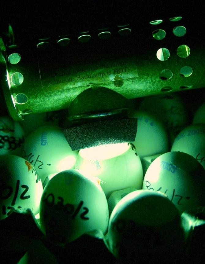 A scientist checks eggs for bird flu at the Zooprophylactic Institute near the northern Italian city of Padua December 12, 2005.