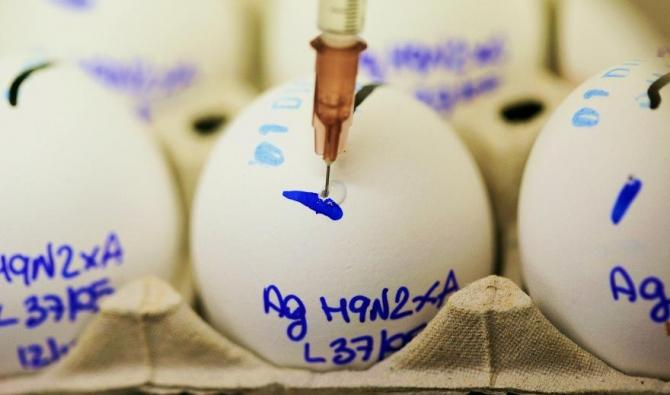 A scientist checks eggs for bird flu.