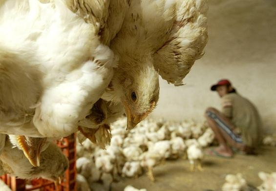 chickens are seen at a poultry shop in Jakarta February 5, 2007.