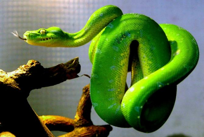 """Pythons (like the green tree python pictured here)  and boa constrictors infected by the highly contagious """"mad snake disease"""" tie act in bizarre """"drunken"""" ways and tie themselves into tangles they cannot get out of."""