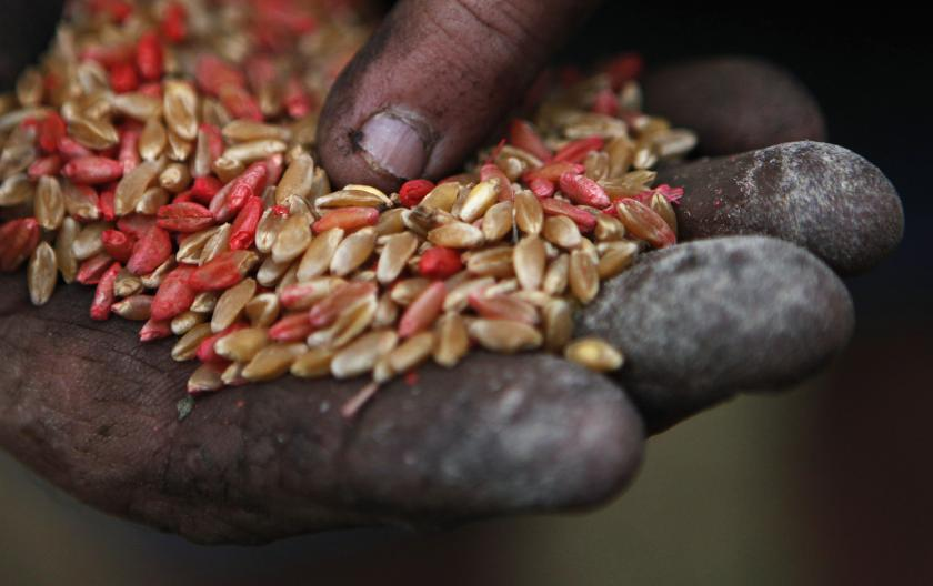 farmer displays wheat seeds