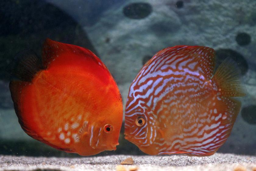 two Discus fish in an aquarium