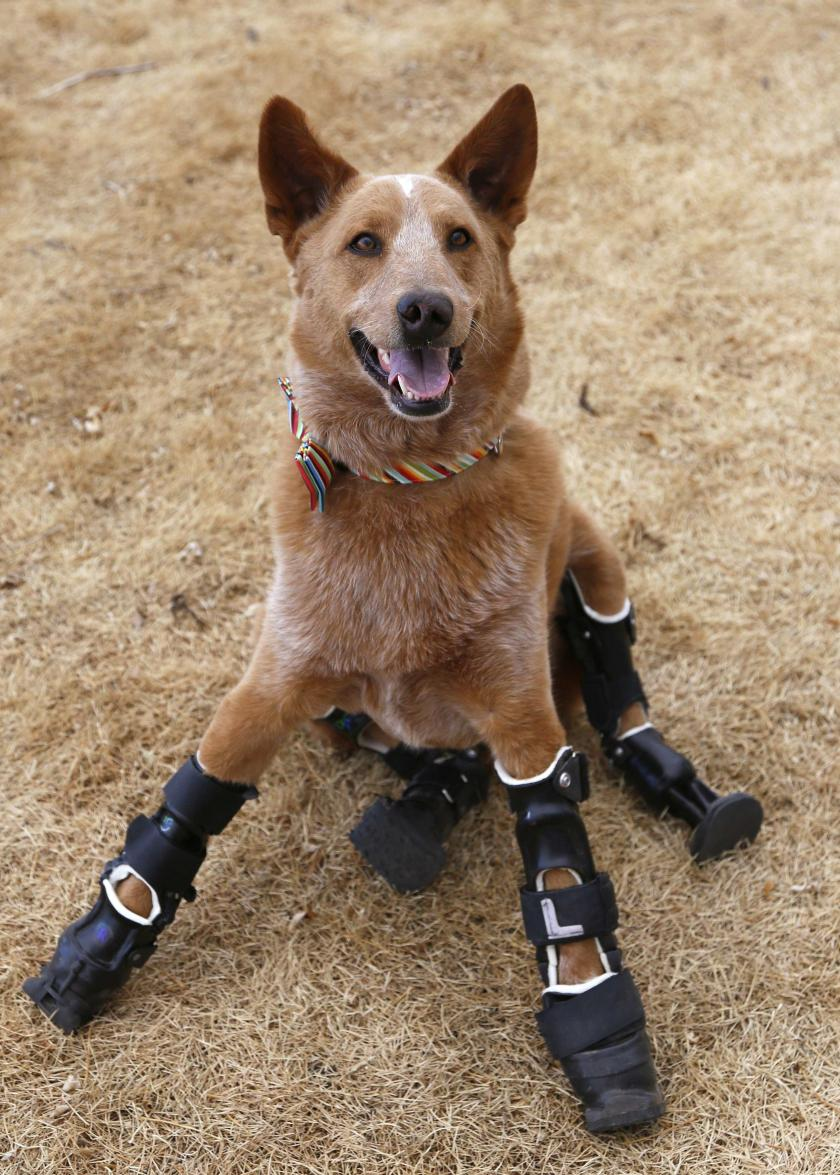 Naki'o, First 'Bionic' Dog To Receive Four Prosthetics After Losing Paws To Frostbite