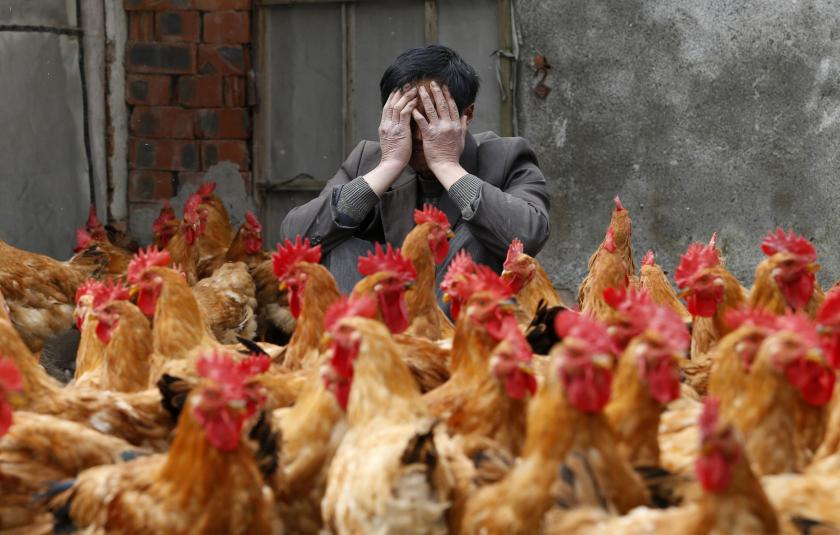 Chicken Breeder, H7N9
