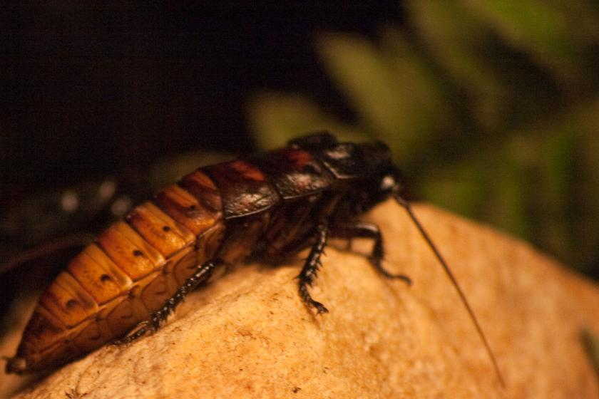 Remotely Controlled Cockroaches May Help Disaster Recovery