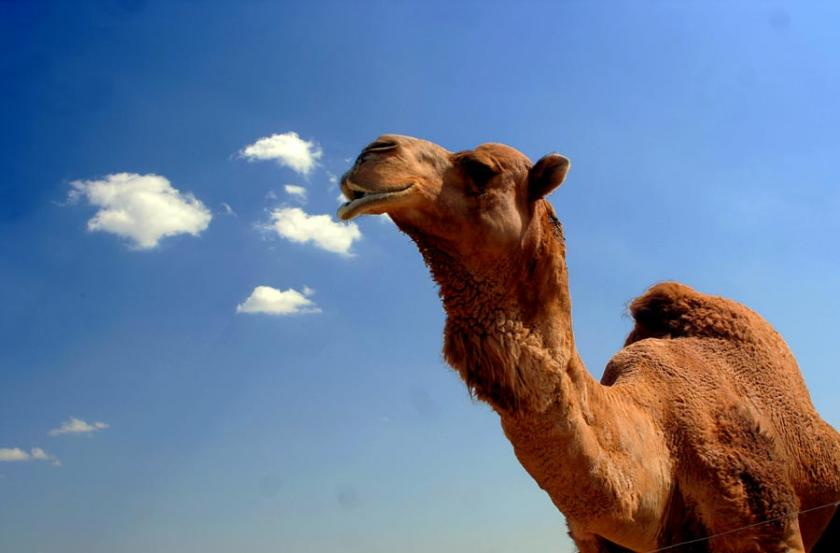 MERS Outbreak May Affect Camels, Experts Find Possible Source Of Deadly Virus
