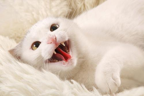 White cat showing fangs and tongue