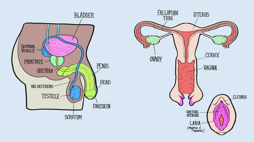 male and female reproductive systems harder to label for some than    male and female reproductive systems harder to label for some than others