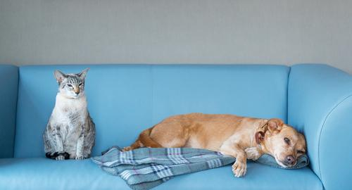 Cat and dog on blue couch