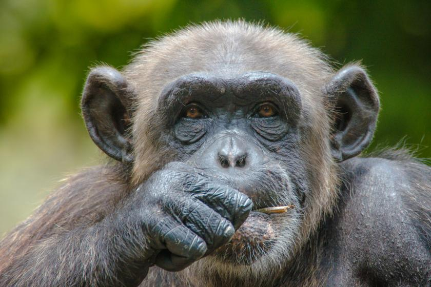 Chimpanzees Have Music Preferences Too