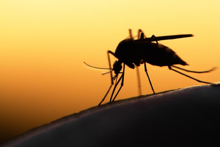 Mosquitoes Spread Painful Virus