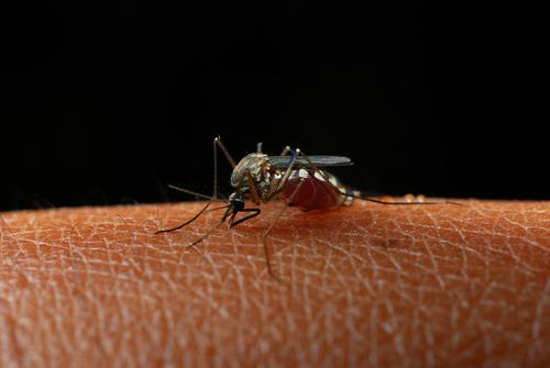 Tropical Infection Spread BY Mosquitoes Makes It Way To Long Island