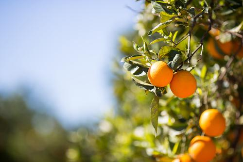 Orange Trees Are Under Seige By A Disease-Carrying Bug