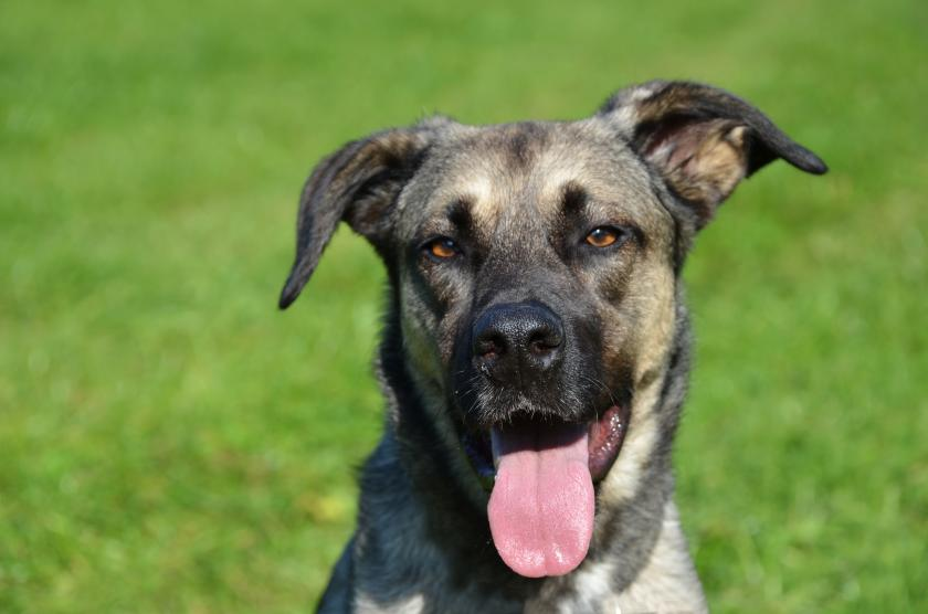 German shepherd mix similar to the one above was trained by