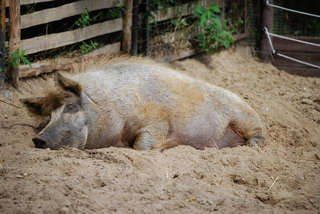 Video Of Decomposing Pig Corpse Shows How Human Bodies Decay Human Decomposition Time Lapse