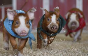 these pigs will kill you and your family in your sleep