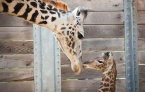 Baby Giraffe Yao Ming and His Mother