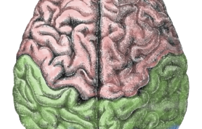 Scientists Link Specific Brain Cell Types to Behavior