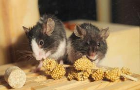 Gay Mice? Females Without Serotonin Display Homosexual Preference