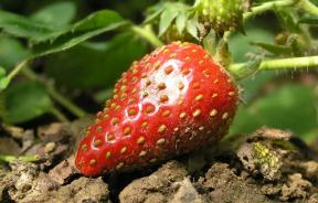 Strawberry on ground