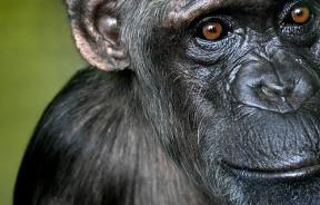 chimpanzee research