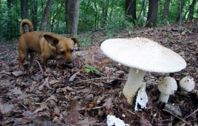 Fungus Attacking Dogs In Chicago