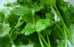 Cilantro may be tainted with fecal matter